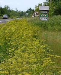 parsnip roadside