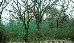 buckthorn in woods