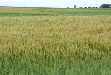 grain field for website