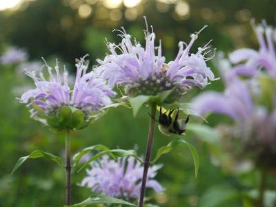 Monarda with bumblebee 1
