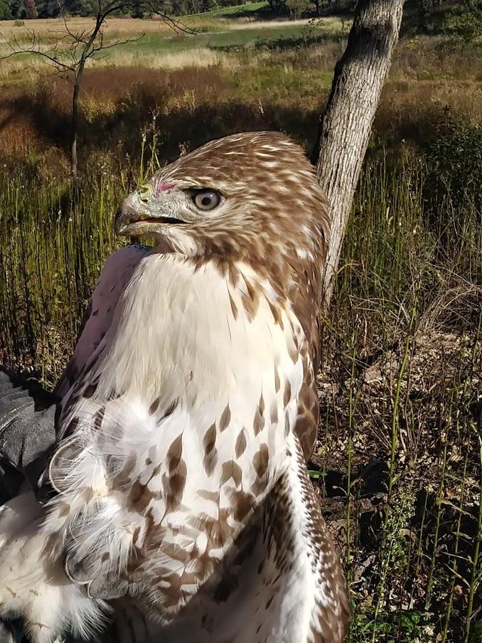 Hawk before