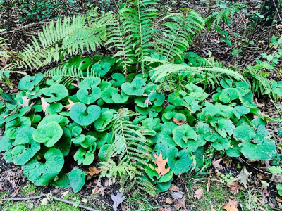 ginger and ferns small